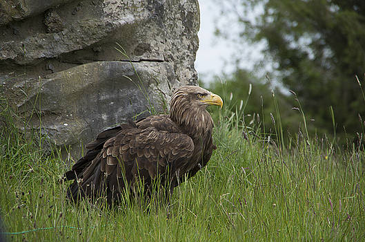 Martina Fagan - Irish Sea Eagle