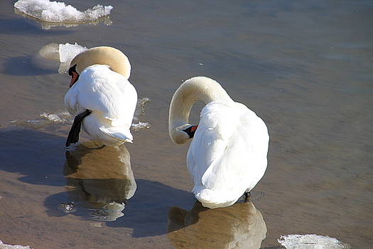 Irondequoit Bay Swans by Gerald Salamone