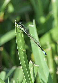 Is He Okay With Being Called A Damselfly? by William Tasker