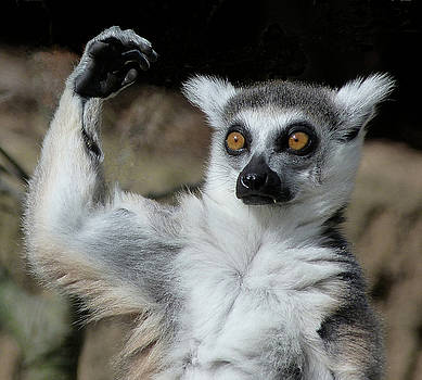 Is It Really That High - Ring-tailed Lemur by Margaret Saheed
