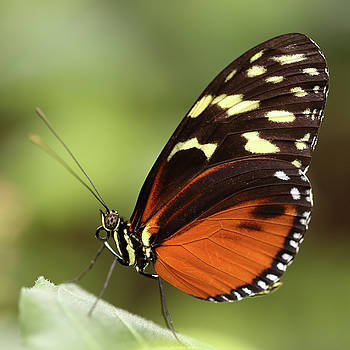 Isabellas tiger butterfly Eueides isabella by Paul Cowan