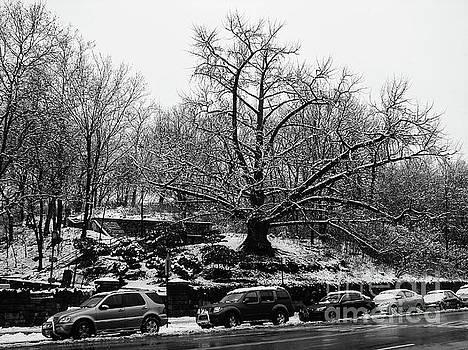 Isham Park Ginkgo by Cole Thompson