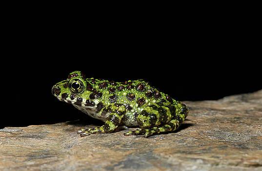Ishikawas frog by Shawn Miller