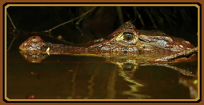 It caiman over by BYETPhotography