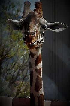 It Is Hard To Sneak Up On a Giraffe In The Nevada Desert by John Glass