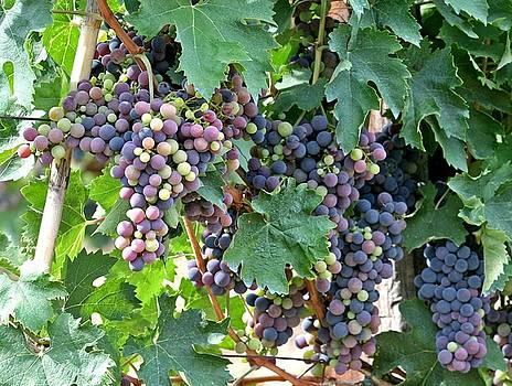 Italian Grapes by Mario Marsilio