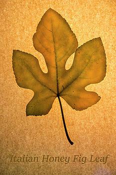 Frank Wilson - Italian Honey Fig Leaf 4