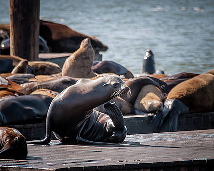 Itchy Sea Lion by Andrew Hollen