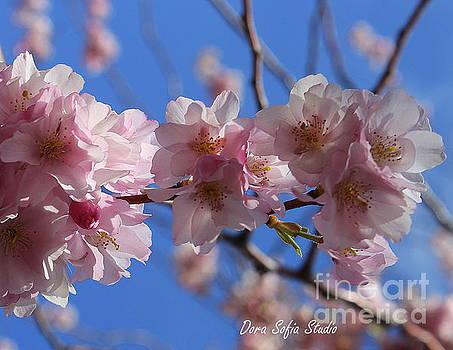 It's Cherry Blossom Time by Dora Sofia Caputo Photographic Design and Fine Art