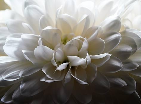 Ivory Petals by Hattie Schenck
