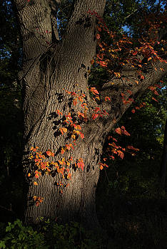 Ivy In The Fall by John Forde