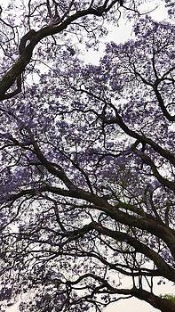 Jacaranda Tree 2  by Jeanette Brown