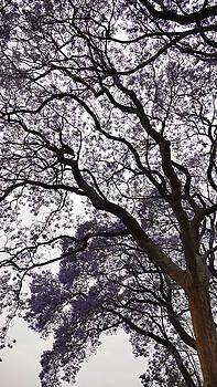 Jacaranda Tree 3 by Jeanette Brown