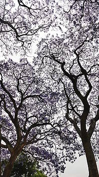 Jacaranda Trees 1  by Jeanette Brown