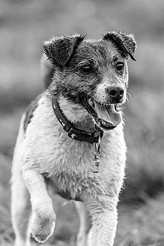Jack Russell Terrier by Nick Bywater
