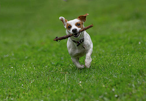 Jack Russell terrier pursuing and catching stick playing on gree by Julian Popov