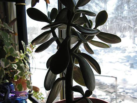 Jade plant by Diane Rijhoff