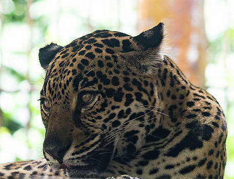Jaguar by Bonnie Davidson