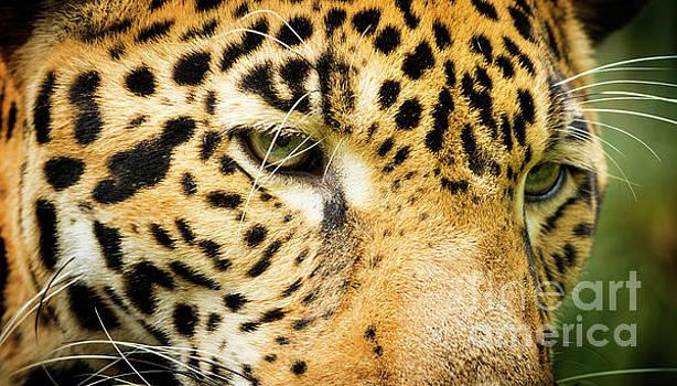 Tim Hester - Jaguar Cat Eyes