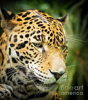 Tim Hester - Jaguar Cat In Jungle