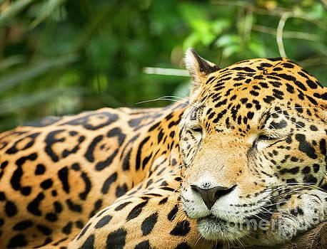 Tim Hester - Jaguar Cat Resting