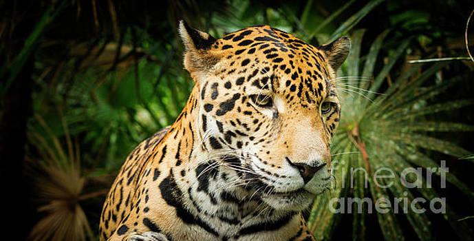 Tim Hester - Jaguar Cat