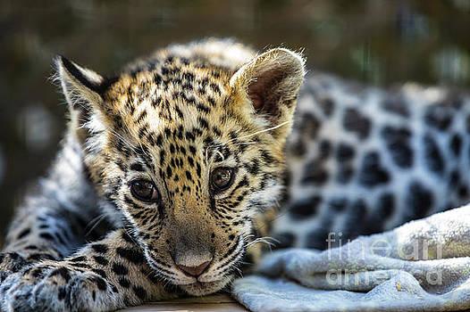 Jaguar Cub with a Blanket by CJ Park