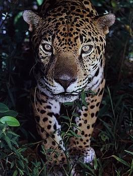 Diane Kurtz - Jaguar
