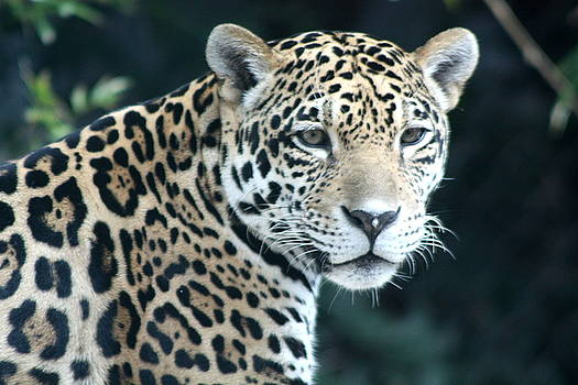 Jaguar by Diane Merkle