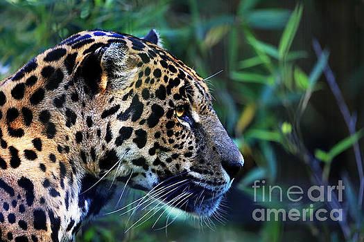 Jaguar Stare by Kathy Eastmond