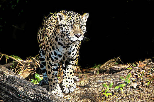 Jaguar Stare by Pravine Chester