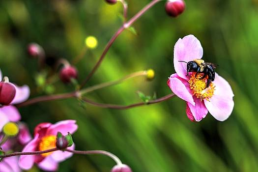 Japanese Anemone And A Bee by Carol Montoya