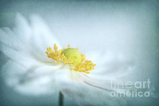 Japanese Anemone by Martin Williams