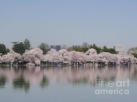 Japanese Cherry Blossom Trees by April Sims