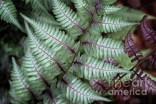 Japanese Fern by Karen Adams