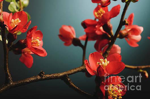 Japanese flower by Jelena Jovanovic