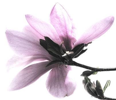 Japanese Magnolia Blossom by Angela Davies