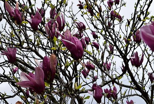 Japanese Magnolia by Renee Olson