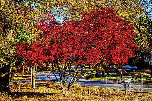 Doug Berry - Japanese Maple and Oak in Autumn 0579