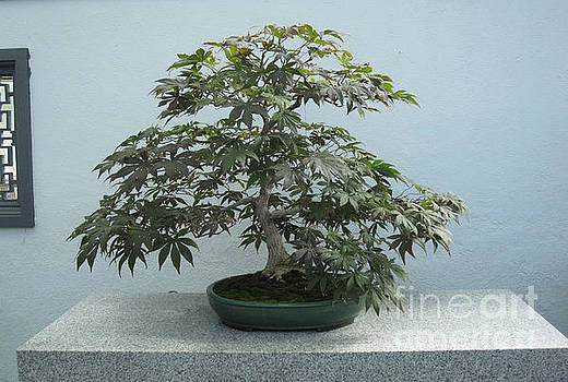 Japanese Maple Bonsai #2 by Brandy Woods