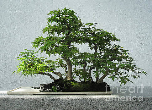 Japanese Maple Bonsai by Brandy Woods