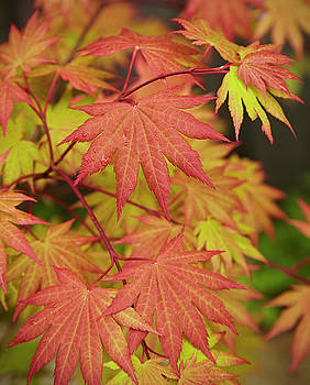 Japanese Maple by Garden Gate