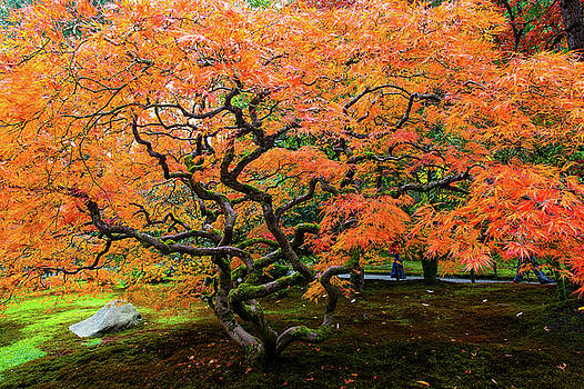 Japanese maple - Japanese garden by Hisao Mogi