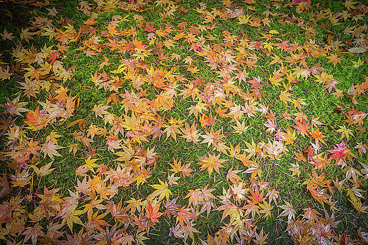 Japanese Maple leaves in autumn colors by William Lee