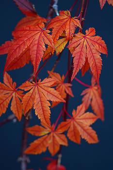Frank Wilson - Japanese Maple Leaves In Autumn