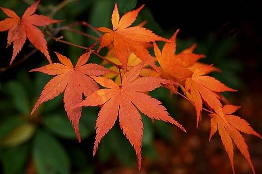 Patricia Strand - Japanese Maple Leaves