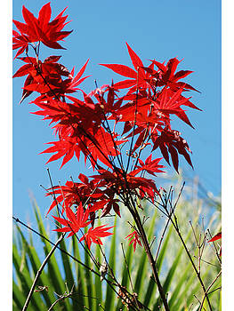 Japanese Maple by Lee Sill
