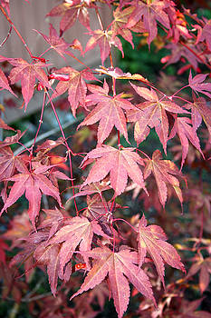 Japanese Maple by Sherry Leigh Williams