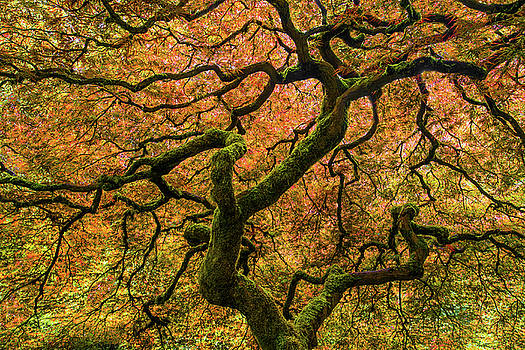 Larry Marshall - Japanese Maple Tree