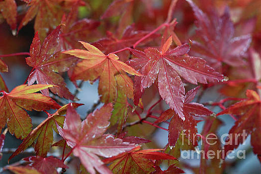 Japanese Maples by Tracy Hall